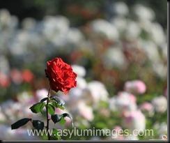 rose_bukah-IMG_2010_11_28_0860